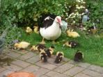 Winner of cutest Duck  family 2016.......
