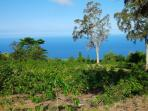 Looking over coffee trees to ocean.