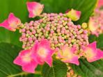 Pink Hortensie - pinkhydrangea