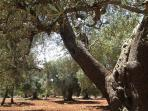The house stand in a 4ha private olive grove with hundreds of centuries old trees.
