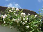 Roses grimpantes parfumées New Dawn