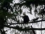 Our Pair of Bald Eagles are back..