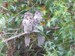 A pair of frog mouth owls enjoying the peace and quiet