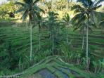 Rice terrace at Tegallalang, 20min drive from the villa