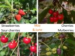 A lot of different fruits in garden, all free. May/June: strawberries, cherries, sour cherries etc