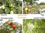 Available in September and October: Quinces, Figs, Pomegranates and Jujube fruits.