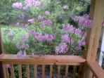 Feast your eyes on this azalea from the rocking chairs on the screened porch