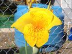 flower 'maraca'