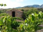 The Vineyards in their prime awaiting the harvest season with traditional workers shelter