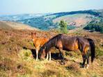 Hill ponies on The Quantocks