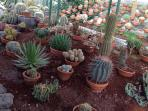 400 species of cacti, in the greenhouse attached to the cottage
