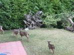 frequent visitors, the deer are very relaxed
