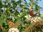 Butterflies attracted to the buddlejas