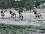 A small herd of elk frequent our neighborhood - this photo was taken in our neighbor's backyard Nov.
