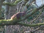 red squirrels are frequent visitors to the garden