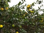 Meyer's Lemons (Yum!)