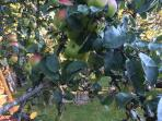 alte Obstbäume
