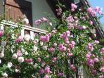 Roses au balcon.