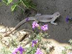 Desert iguana munching on verbenas in the garden