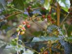 Tours to Blue Mountain Coffee Plantation