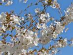 Spring blossom on the cherry tree.