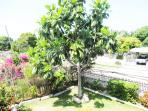 Paradise Palms Jamaica Villa Montego Bay Jamaica breadfruit available to all guests when in season