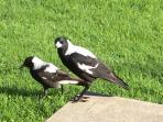 Visiting magpies