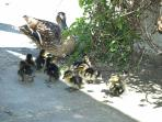 Come and see our ducks and count how many ducklings they have this year