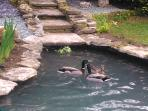 Relax by the pond and watch the ducks swimming, where their ducklings often have there first swim.