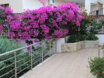 Some of our bougainvillea
