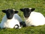 Scottish blackfaced lambs