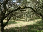 Production d'huile d'olive bio