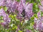 Another butterfly enjoying the blooming lilacs.  The aroma is heavenly.