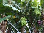 Bananal nos arredores