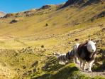 Herdwick sheep hiking the fells in the Upper Esk!