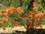 Native flame azalea along the driveway is always spectacular