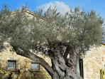 Big Olive, aged 500 years, in the garden