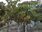 Vineyard-600 vines