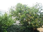 The Ficus Tree