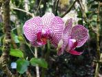 Orchids at the Hawaiian Tropical Botanical Garden