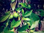 The Eggfruit Tree