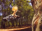 we have lots of hoopoes and many other birds