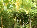 Kitchens grape vine area