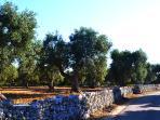 Olive grove  Carpignano Salentino
