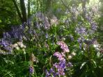 Lovely bluebells in Springtime