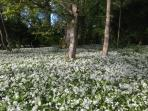 The wild garlic on the Estate is just beautiful in Spring.
