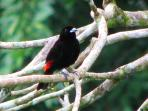 This is a Cherrie's Tanager perched in the back yard.