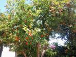 giardino interno 4 melograno