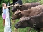 Our very friendly cows