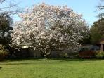 The beautiful magnolia tree in bloom